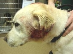 Guide Dogs under attack